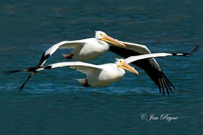 2 WHITE PELICANS FLYING